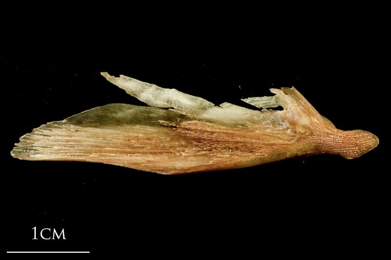 Catfish supracleithrum medial view