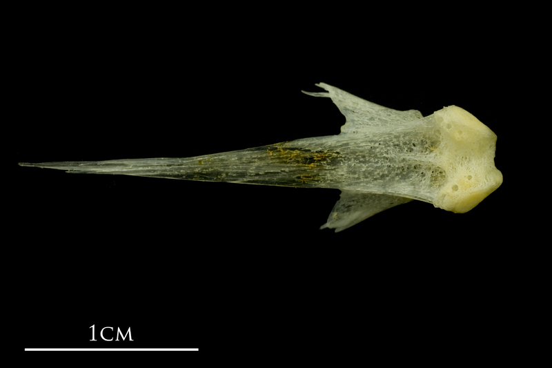 Atlantic mackerel vomer ventral view