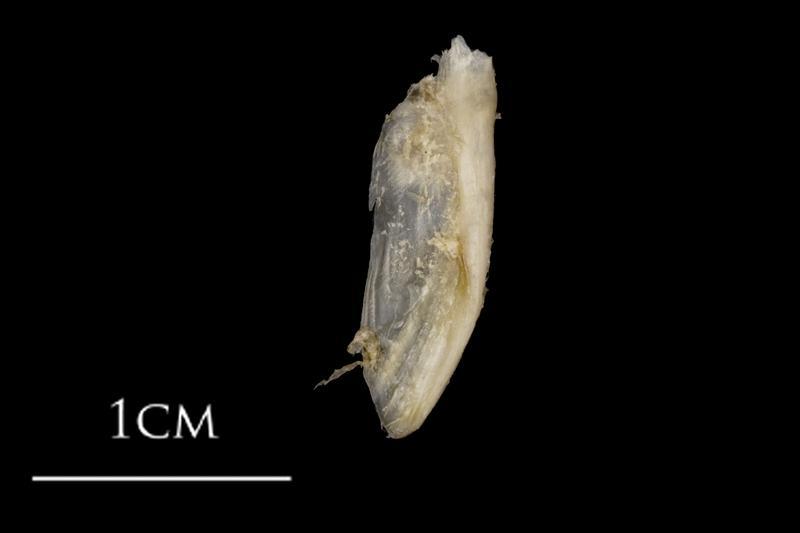 White grouper supracleithrum medial view