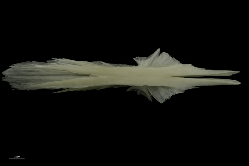 Burbot parasphenoid dorsal view