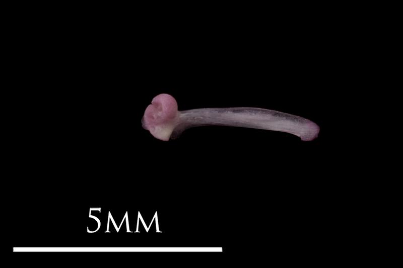 Dragonet maxilla lateral view