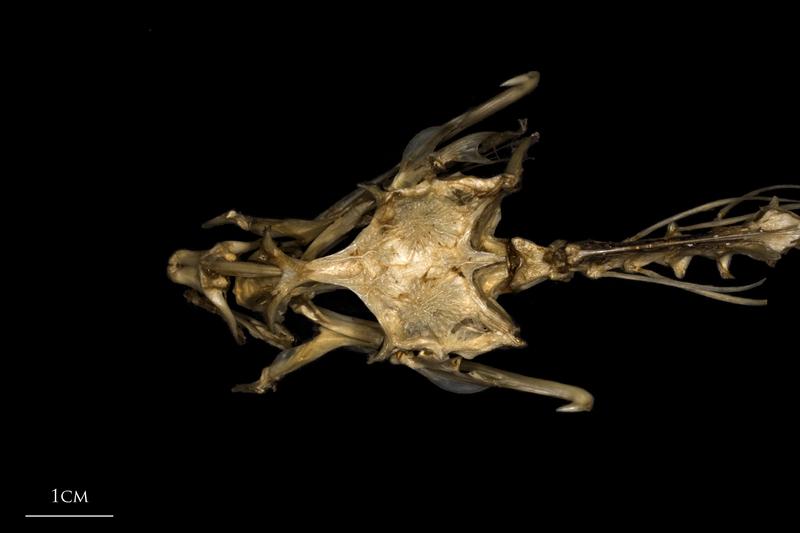 Dragonet skull dorsal view