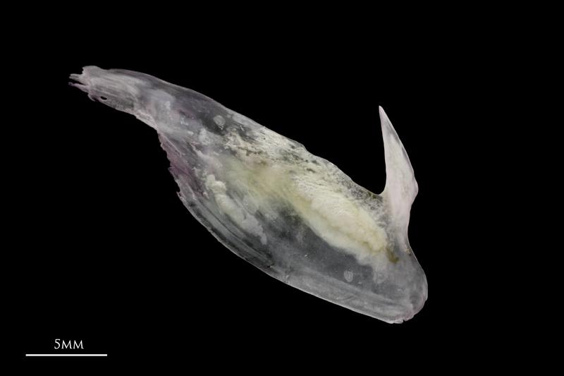 Red seabream subopercular medial view