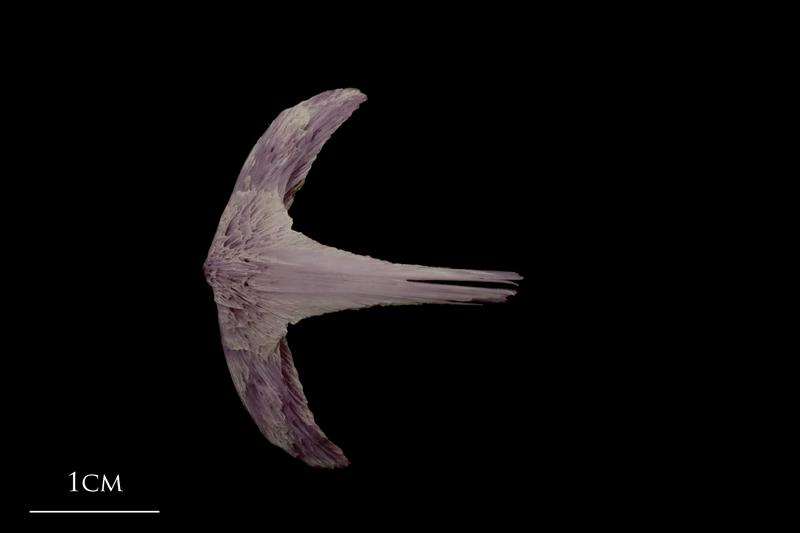Wels catfish vomer dorsal view