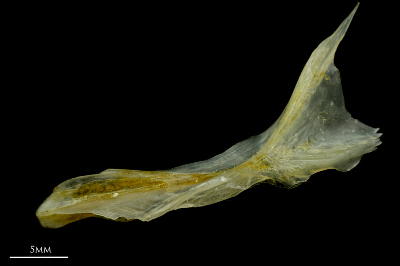 Ruffe cleithrum lateral view