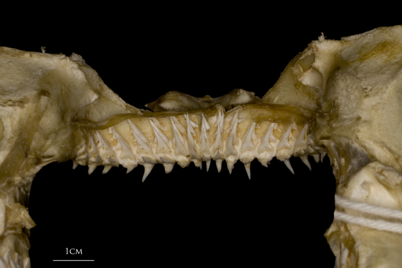 Kitefin Shark teeth posterior view
