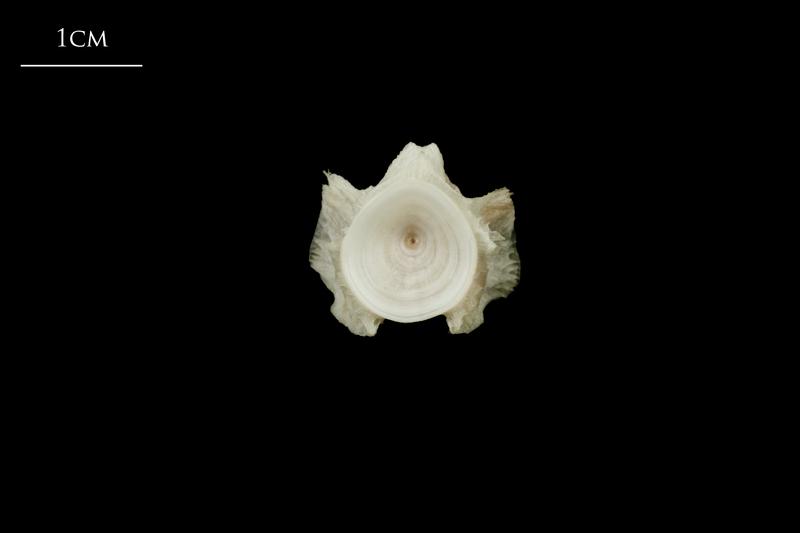 Atlantic halibut basioccipital posterior view