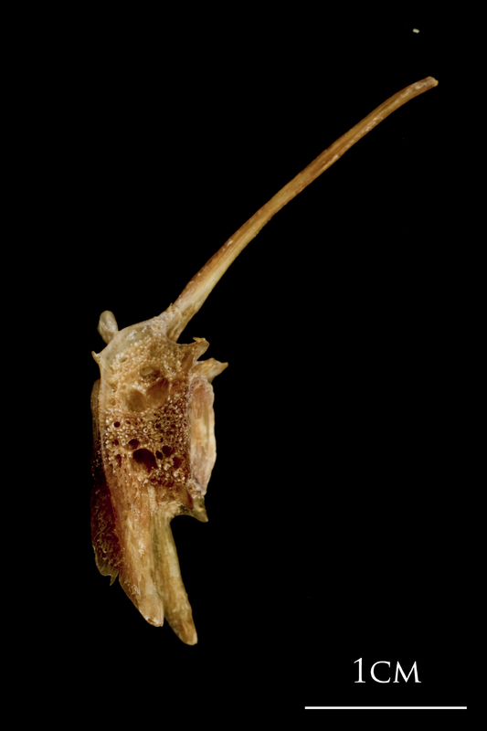 Catfish precaudal vertebra lateral view