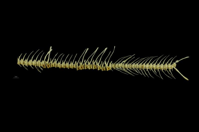 Barbel vertbral column lateral view