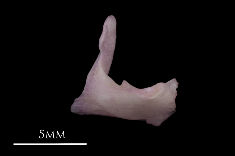 Common sole articular lateral view