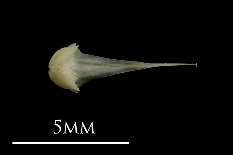 Eelpout vomer ventral view