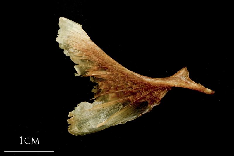 Catfish opercular medial view