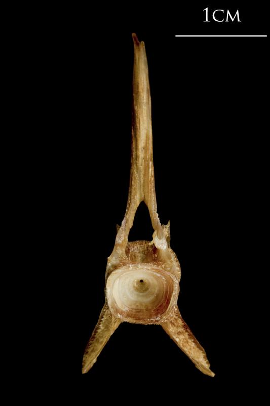 Catfish precaudal vertebra anterior view