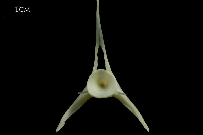 Whiting precaudal vertebra posterior view