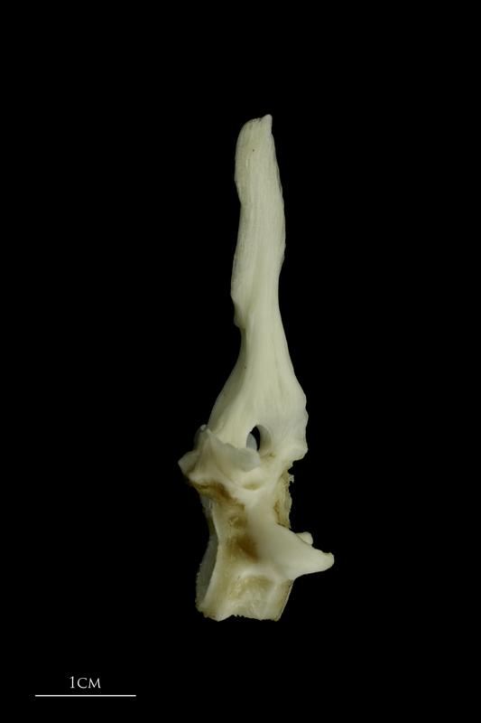 Grey Triggerfish first vertebra lateral view