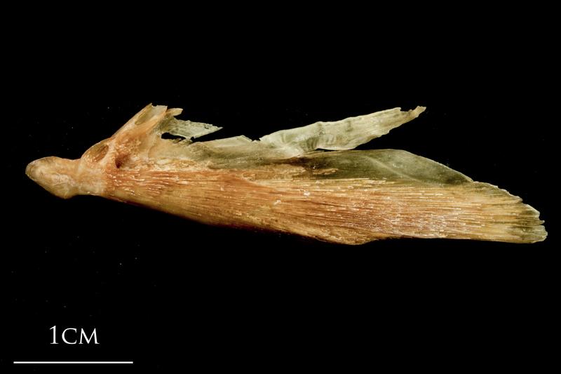 Catfish supracleithrum lateral view