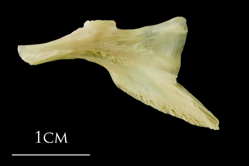 Atlantic cod palatine lateral view