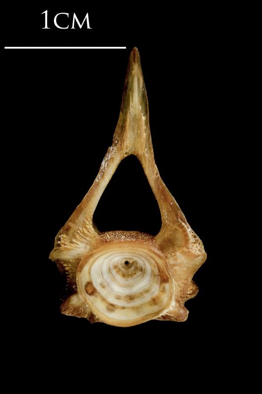 Catfish first vertebra anterior view
