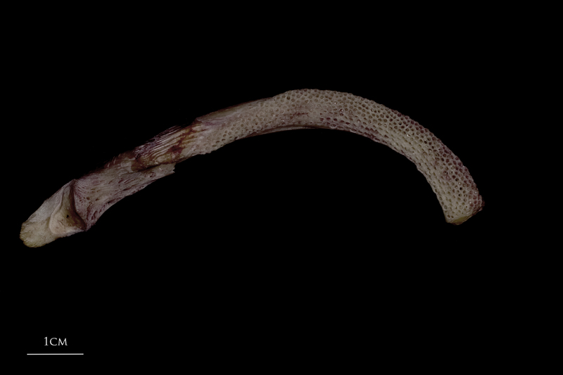 Wels catfish dentary dorsal view
