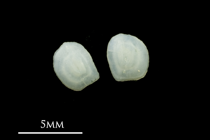 Common sole otolith(s) detail view