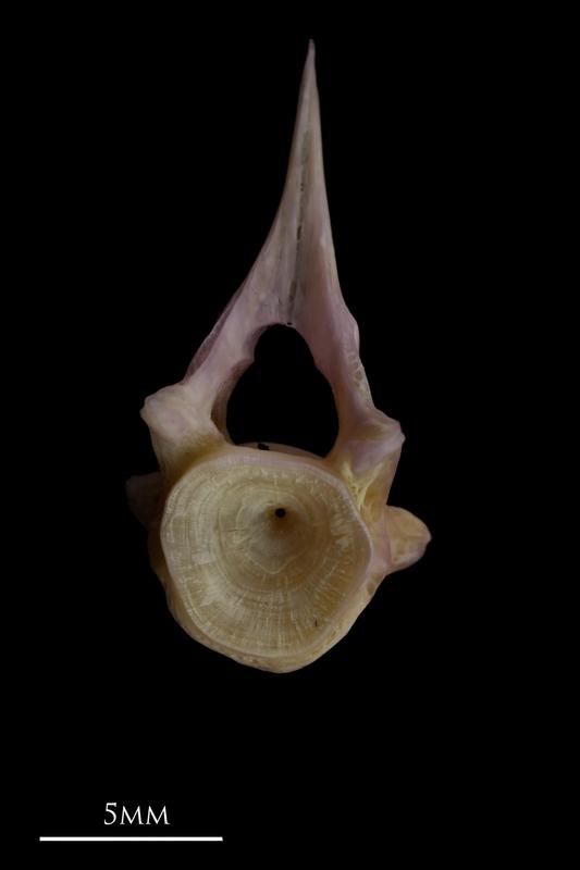 Tub gurnard precaudal vertebra anterior view