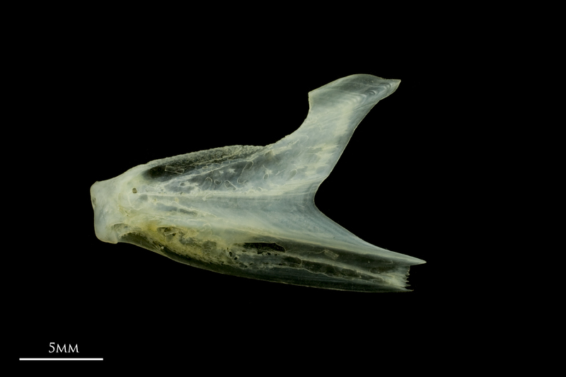 Scad dentary lateral view