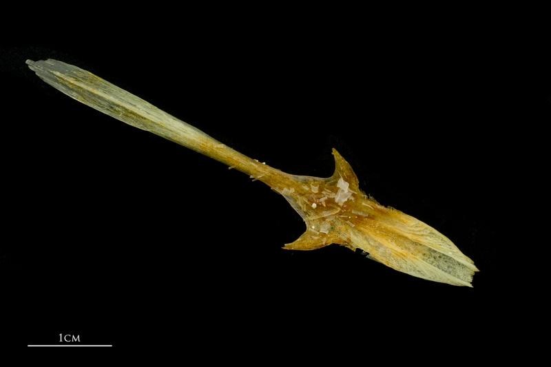 Atlantic mackerel parasphenoid dorsal view