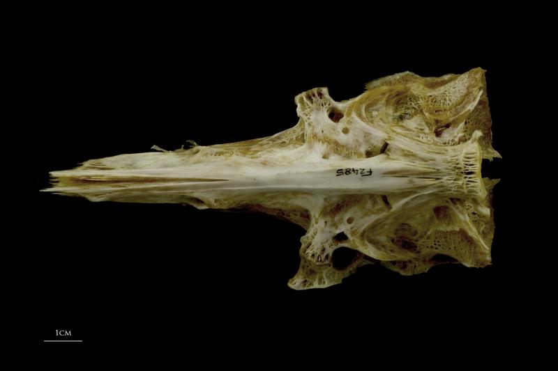 European conger parasphenoid basioccipital complex ventral view