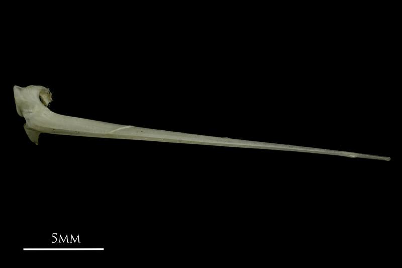 Common pandora spine dorsal view