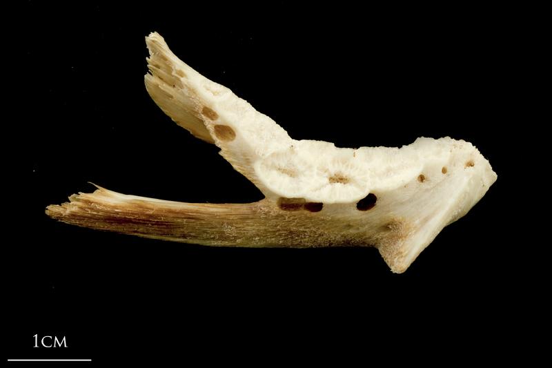 Catfish dentary medial view