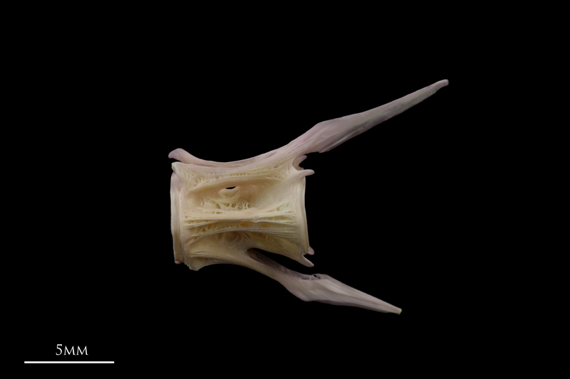 Tub gurnard caudal vertebra lateral view