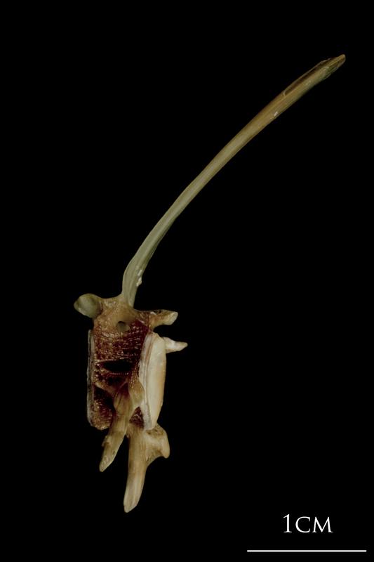 Turbot precaudal vertebra lateral view