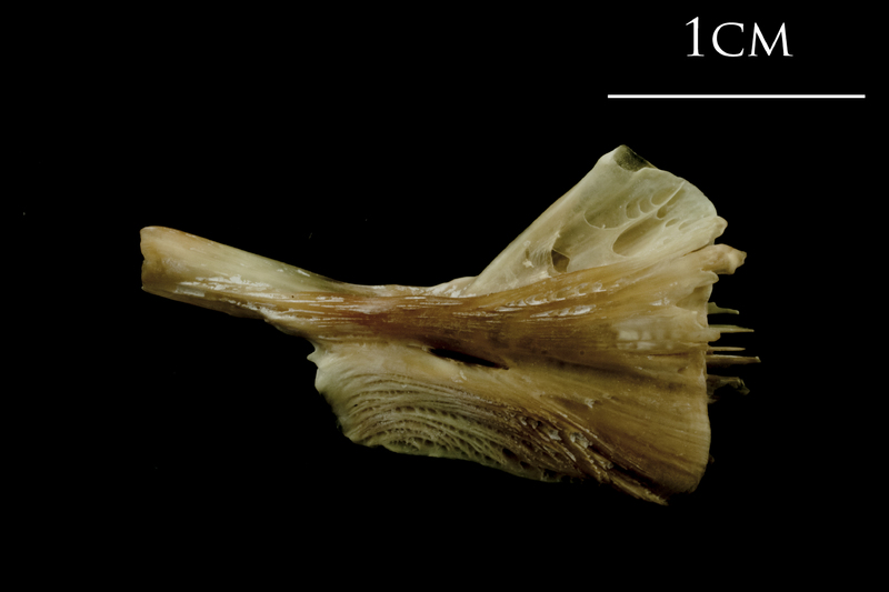 Turbot ceratohyal medial view