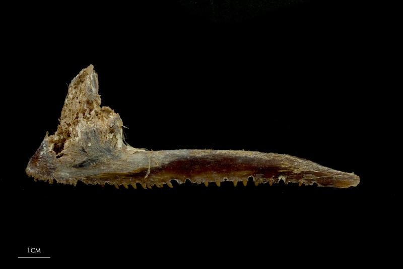 Atlantic bluefin tuna  premaxilla lateral view