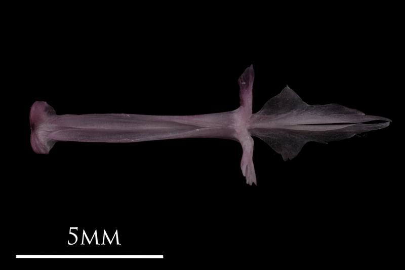 Dragonet parasphenoid vomer complex dorsal view
