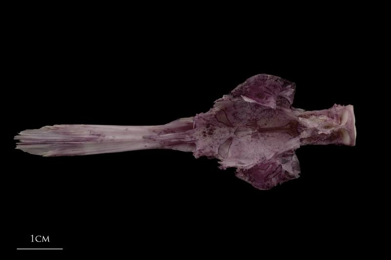 Wels catfish parasphenoid basioccipital complex dorsal view