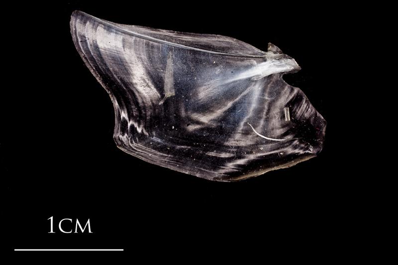 Atlantic herring opercular lateral view