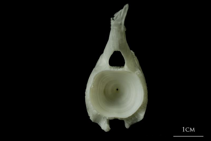Angler fish caudal vertebra posterior view