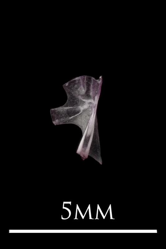 Dragonet hyomandibular medial view
