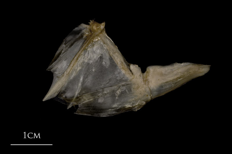 White grouper opercular subopercular complex medial view
