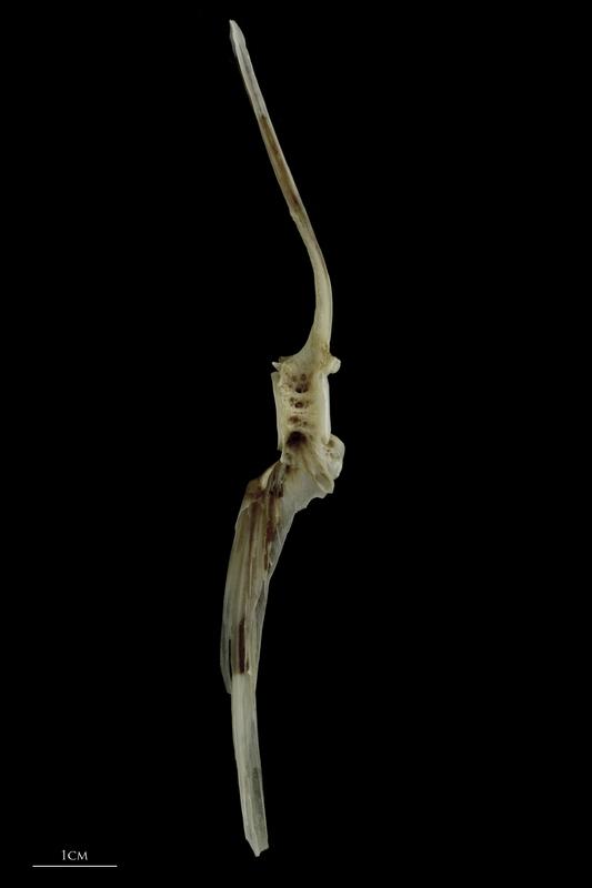 Brill precaudal vertebra lateral view