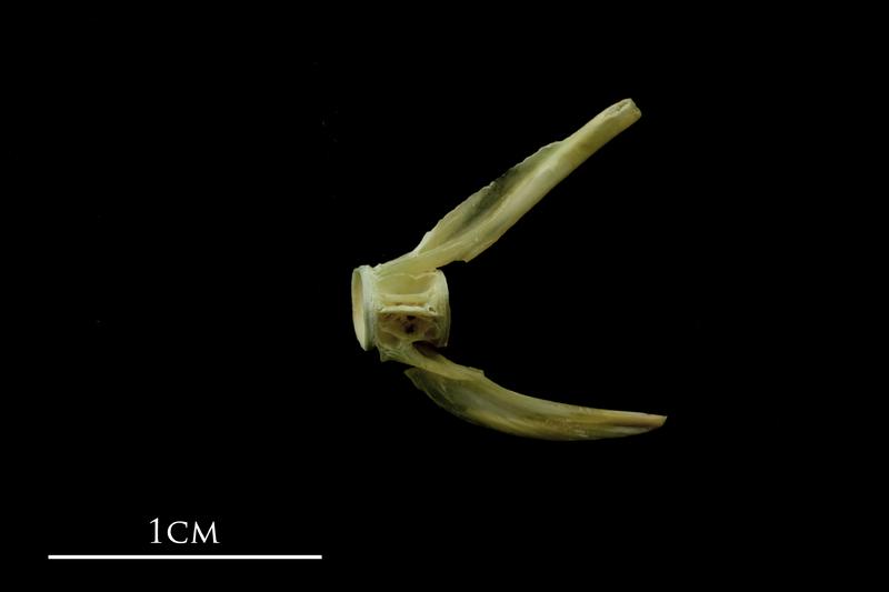 John dory ultimate vertebra lateral view