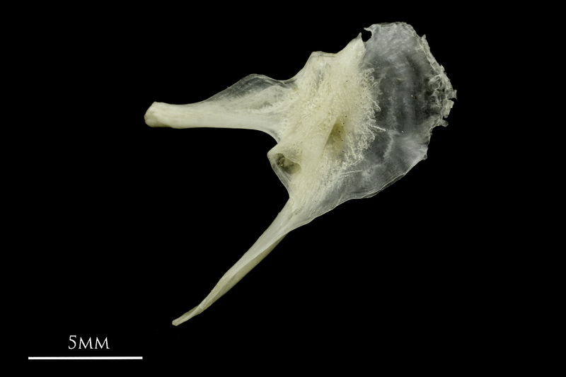 Common pandora posttemporal lateral view