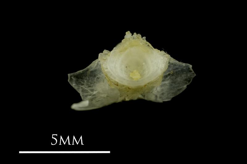 Ruffe basioccipital posterior view