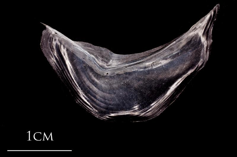 Atlantic herring preopercular medial view
