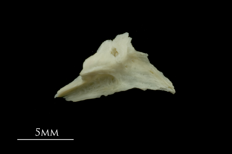 Dragonet for assessment lateral view