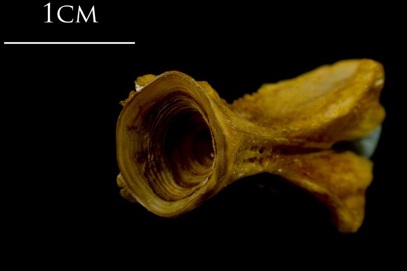 Thinlip grey mullet  basioccipital posterior view