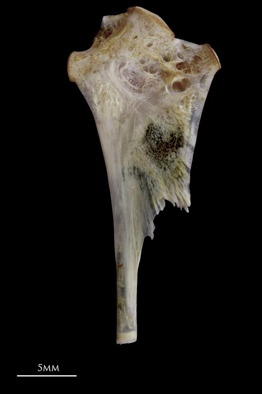 Red seabream hyomandibular medial view