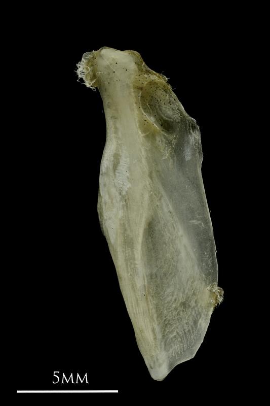 Common pandora supracleithrum lateral view