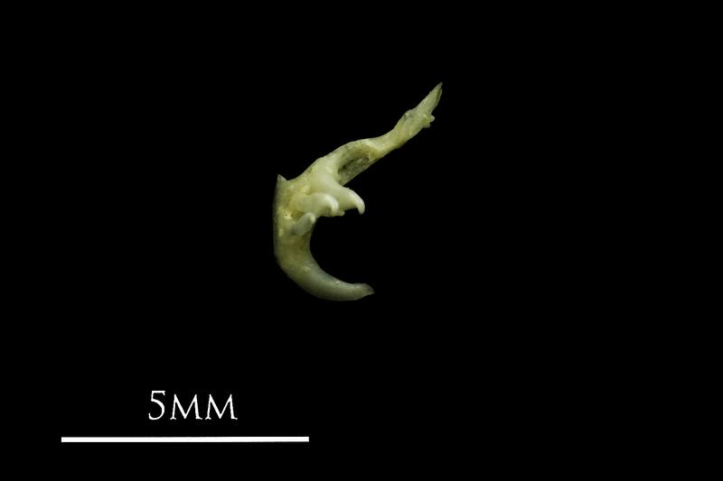Eurasian minnow pharyngeal dorsal view